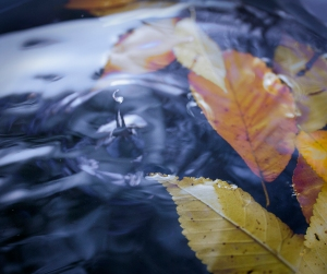 """fallen leaves in living water""; photo credit, John Hoopingarner"